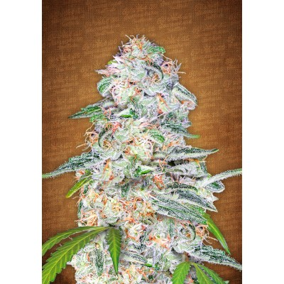 Blue Dream´matic auto